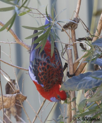 (CreativeWork) Crimson Rosella's: Father and son by Susan Willemse. Acrylic Paint. Shop online at Bluethumb.