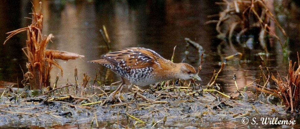 (CreativeWork) Baillon's Crake by Susan Willemse. Acrylic Paint. Shop online at Bluethumb.
