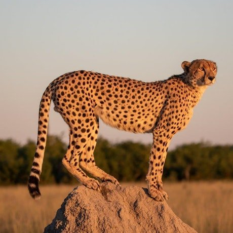 "(CreativeWork) ""As the sun sets""  Cheetah  (Savuti Marsh Botswana) Ed. 2 of 30 by Steve Farrimond. Print. Shop online at Bluethumb."