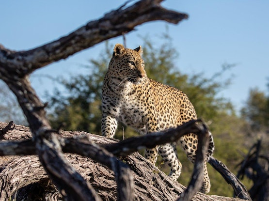 """(CreativeWork) """"Nicely framed"""" Leopard (Chiefs Island Botswana) Ed. 2 of 30 by Steve Farrimond. Print. Shop online at Bluethumb."""