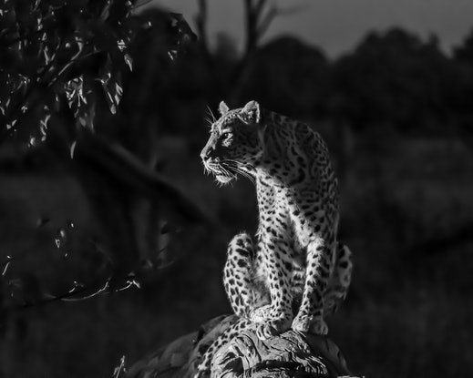 """(CreativeWork) """"He's out there""""  Leopard (Khwai River Botswana) Ed. 2 of 15 by Steve Farrimond. Print. Shop online at Bluethumb."""