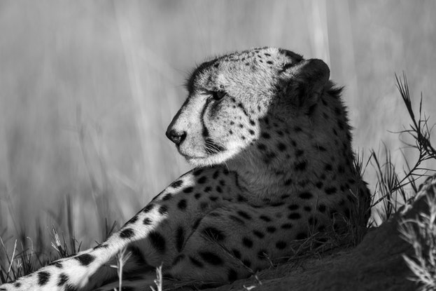 "(CreativeWork) ""Siesta"" Cheetah (Savuti Marsh Botswana) Ed. 2 of 30 by Steve Farrimond. Print. Shop online at Bluethumb."