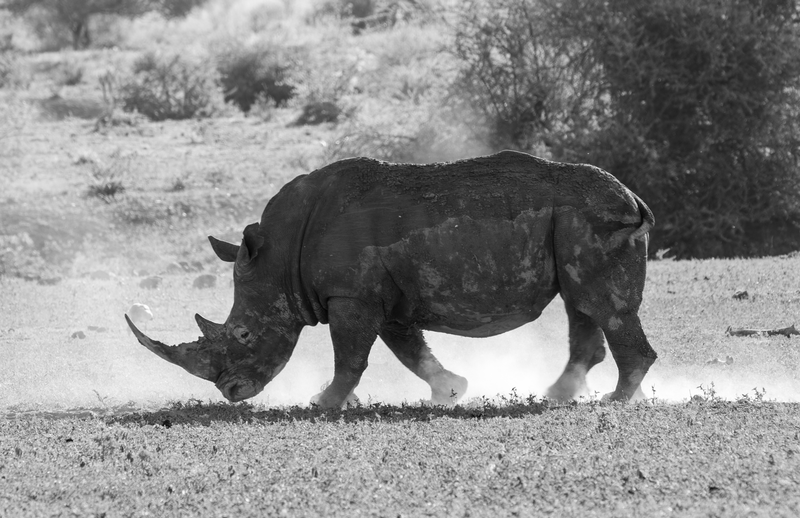 "(CreativeWork) ""Mud and Dust"" Rhino (Madikwe Game Reserve) Ed. 2 of 15 by Steve Farrimond. Print. Shop online at Bluethumb."