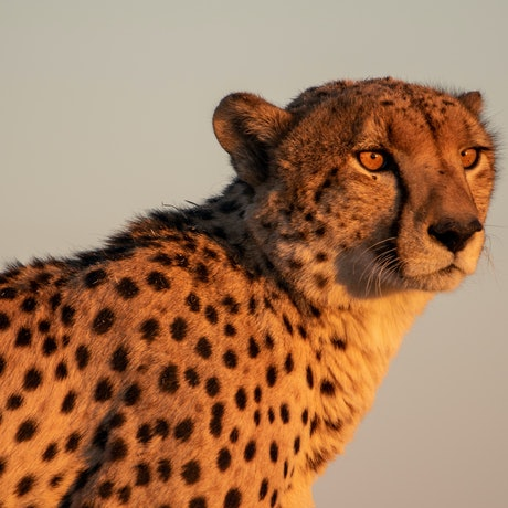 "(CreativeWork) ""As the sun sets II"" Cheetah  (Savuti Marsh Botswana) Ed. 2 of 30 by Steve Farrimond. Print. Shop online at Bluethumb."