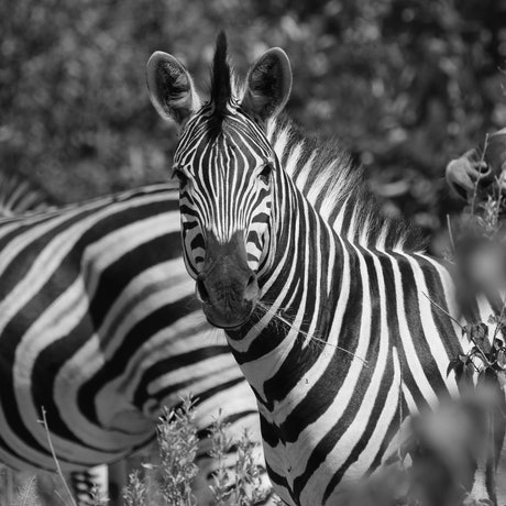 "(CreativeWork) ""On the chew"" Zebra (Botswana) Ed. 2 of 15 by Steve Farrimond. Print. Shop online at Bluethumb."