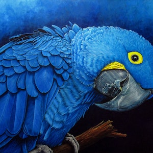 "(CreativeWork) ""Blu"" Hyacinth Macaw Portrait by Debra Dickson. arcylic-painting. Shop online at Bluethumb."