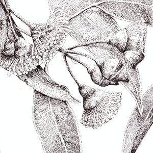 (CreativeWork) Gum Blossom 1 by Jess Black. drawing. Shop online at Bluethumb.