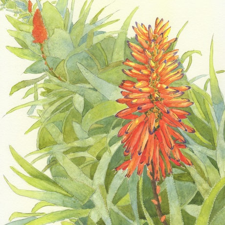 (CreativeWork) Aloe Aloe (now framed) by Debbie Brophy. Watercolour Paint. Shop online at Bluethumb.