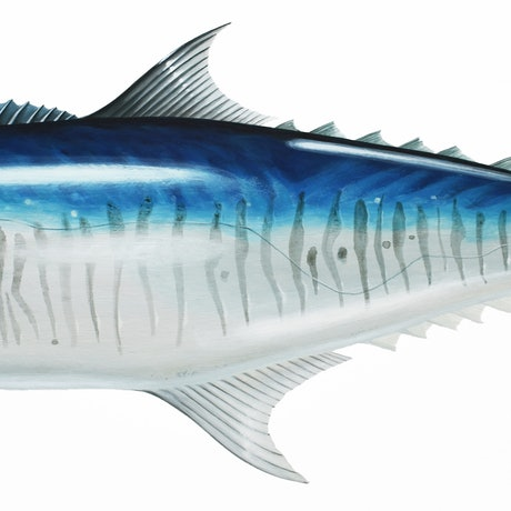 (CreativeWork) Spanish Mackerel - Scientific Fish Illustration by Jenny Berry. Acrylic Paint. Shop online at Bluethumb.