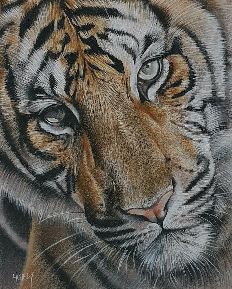 (CreativeWork) Tiger Face by Holley Ryan. drawing. Shop online at Bluethumb.