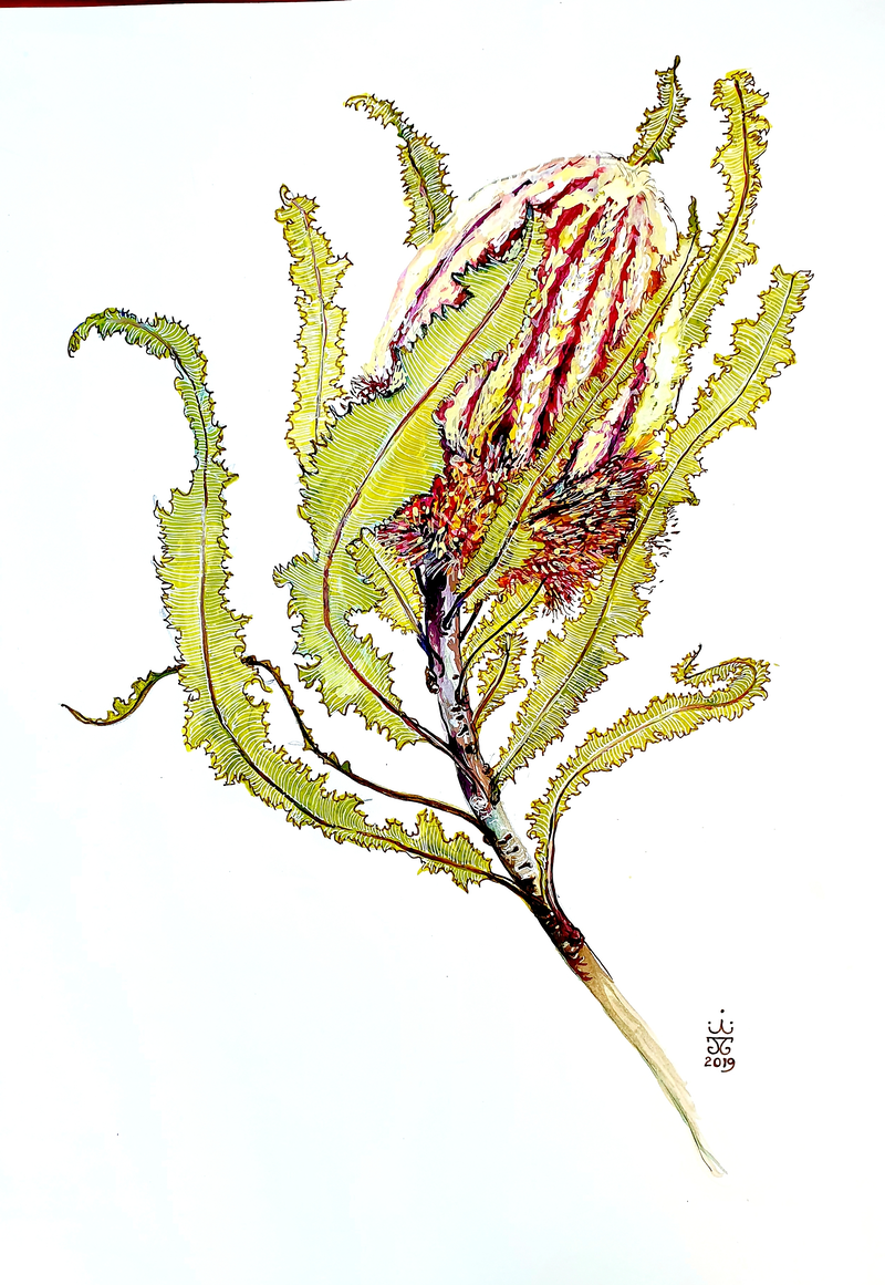 (CreativeWork) Banksia menziesii 11 by Jeanette Giroud. Watercolour Paint. Shop online at Bluethumb.