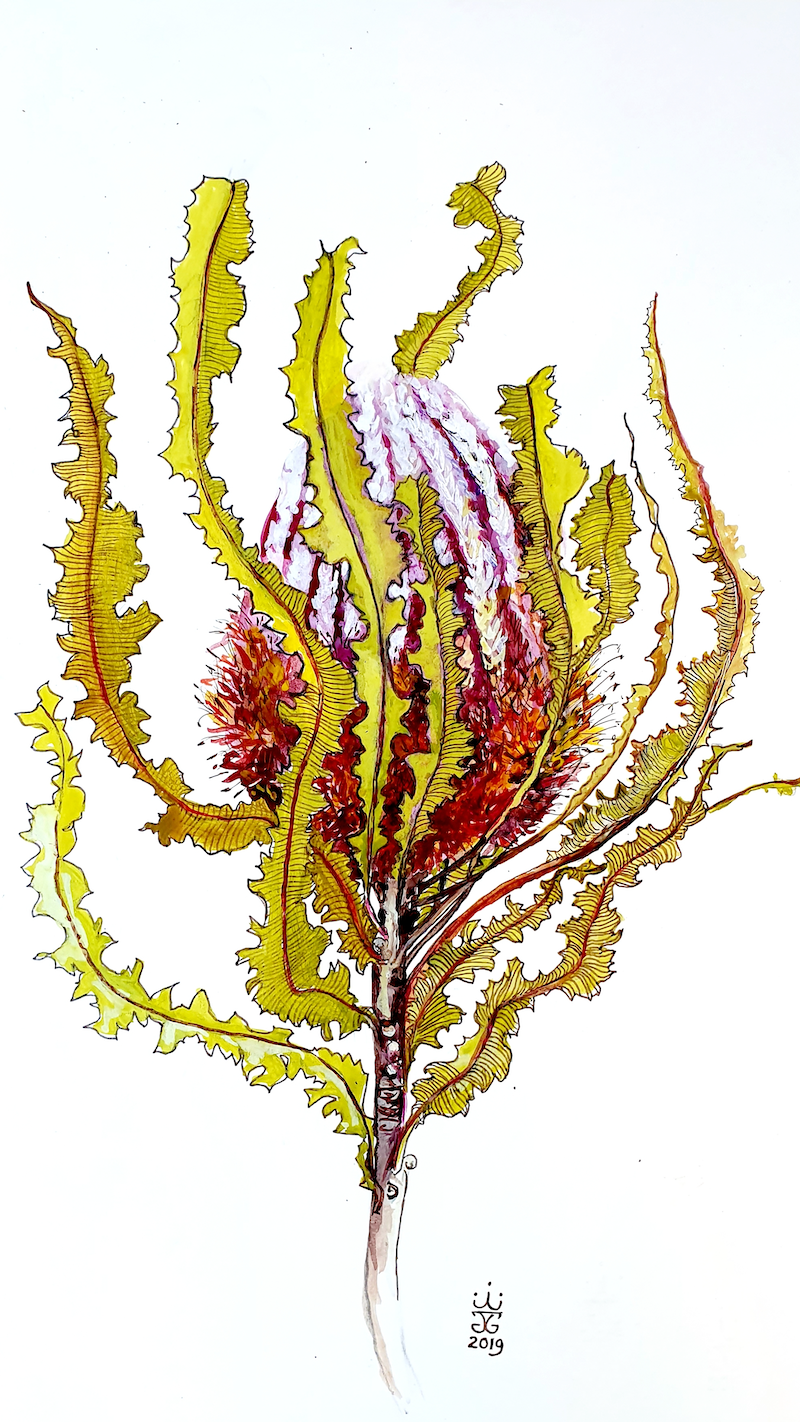 (CreativeWork) Banksia menziesii 1 by Jeanette Giroud. Watercolour Paint. Shop online at Bluethumb.
