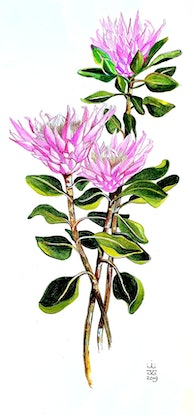 (CreativeWork) King Protea 11 by Jeanette Giroud. Watercolour Paint. Shop online at Bluethumb.