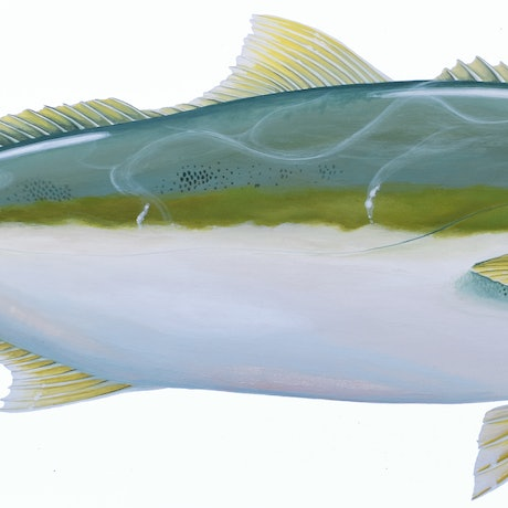 (CreativeWork) Yellowtail Kingfish - Scientific Fish Illustration by Jenny Berry. Acrylic Paint. Shop online at Bluethumb.