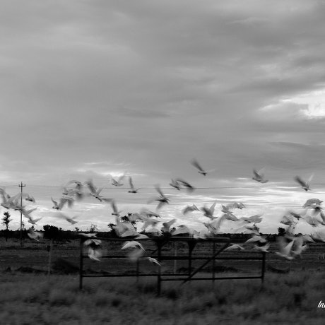 (CreativeWork) Sulphur-crested Cockatoos in Flight by Indya Blake. Photograph. Shop online at Bluethumb.