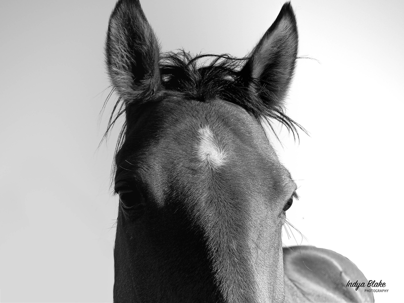 (CreativeWork) Portrait of Cocaine, the Station Horse by Indya Blake. Photograph. Shop online at Bluethumb.