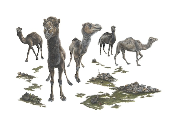 (CreativeWork) The Lucky Dromedaries by Kate Higgins. Drawings. Shop online at Bluethumb.