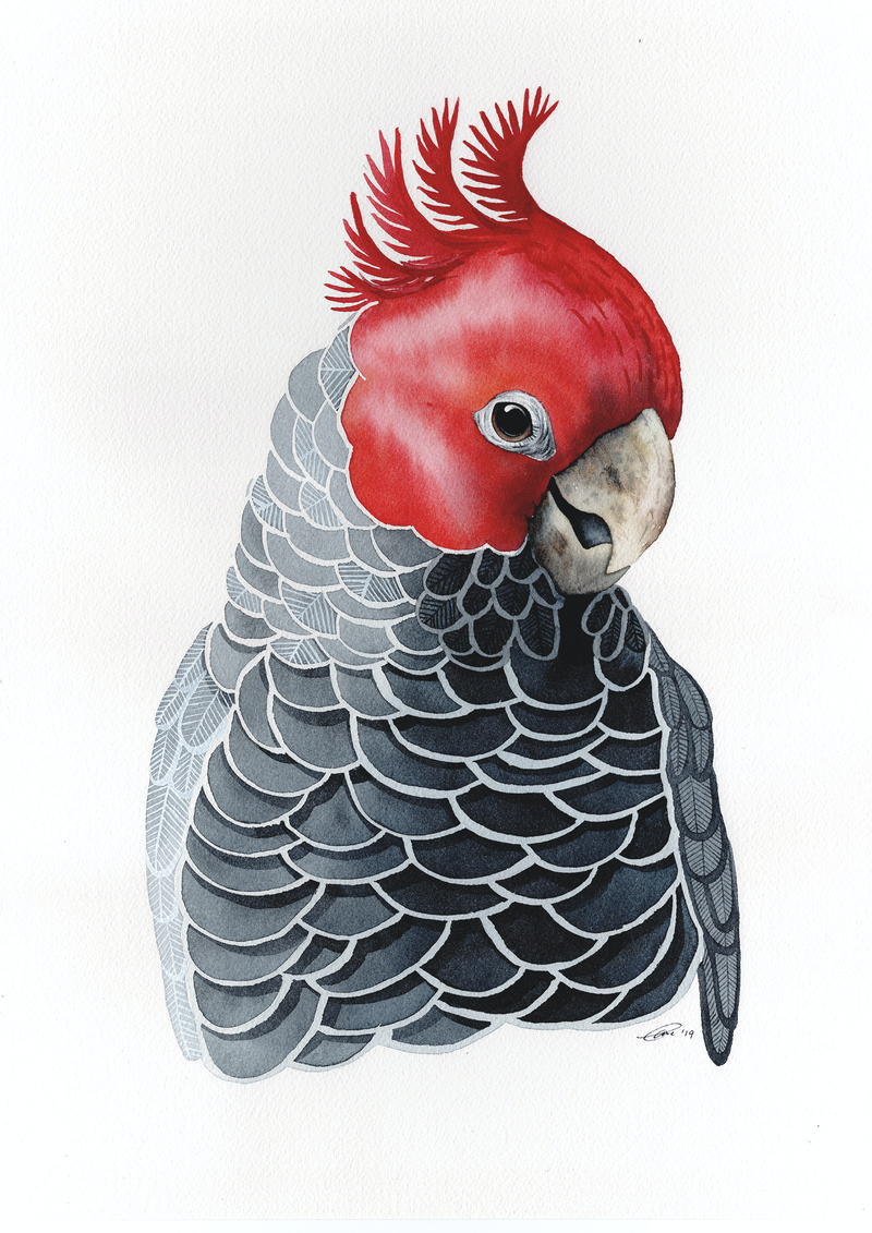 (CreativeWork) The Gang Gang Cockatoo – Watercolour A3 by Clare McCartney. Watercolour Paint. Shop online at Bluethumb.
