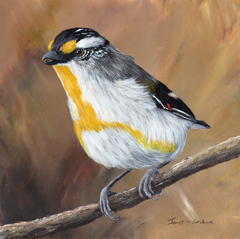 (CreativeWork) Striated Pardalote by Janet Graham. acrylic-painting. Shop online at Bluethumb.