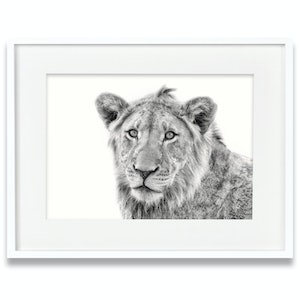(CreativeWork) Lion Cub by Tanya Stollznow. Photograph. Shop online at Bluethumb.