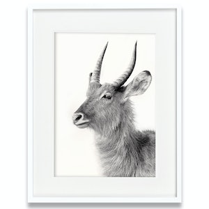 (CreativeWork) Waterbuck by Tanya Stollznow. Photograph. Shop online at Bluethumb.