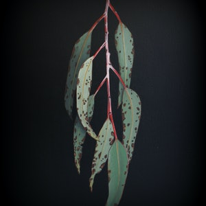 (CreativeWork) Gum Leaves 1 by Bec Bartell. acrylic-painting. Shop online at Bluethumb.