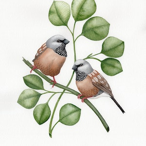 (CreativeWork) Black Throated Finch – Watercolour A3  by Clare McCartney. watercolour. Shop online at Bluethumb.