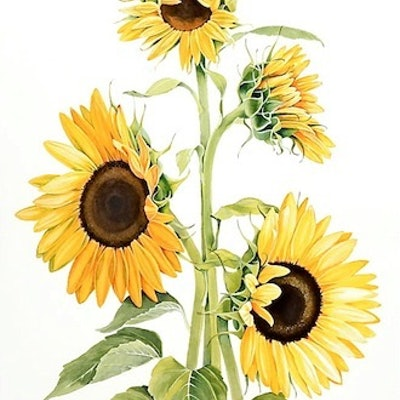 (CreativeWork) Sunflowers by Carol Croad. watercolour. Shop online at Bluethumb.