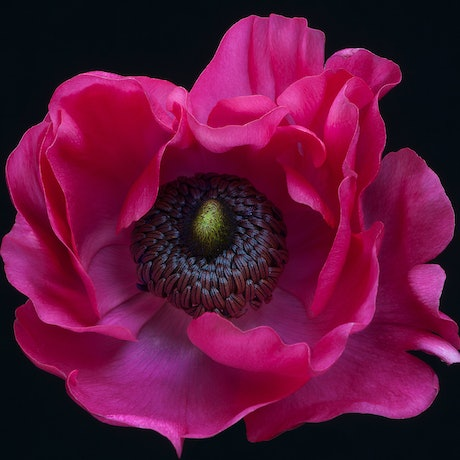 (CreativeWork) Red Anemone Ed. 1 of 25 by Nadia Le. Photograph. Shop online at Bluethumb.