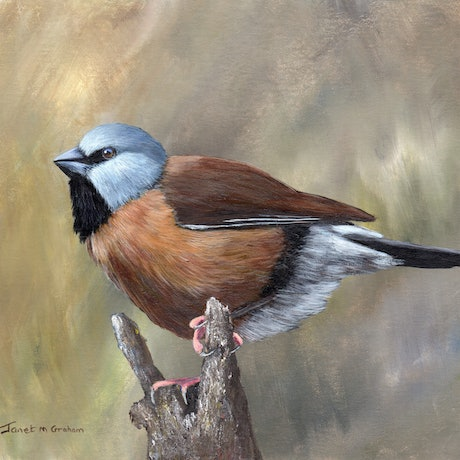 (CreativeWork) Black Throated Finch by Janet Graham. Acrylic Paint. Shop online at Bluethumb.