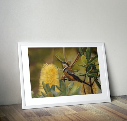(CreativeWork) Eastern Spinebill Ed. 1 of 20 by Rebecca Smalley. Print. Shop online at Bluethumb.