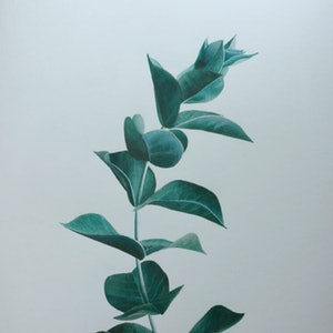 (CreativeWork) Eucalyptus Branch No 1 by Bec Bartell. #<Filter:0x00007f7dacf24fc8>. Shop online at Bluethumb.