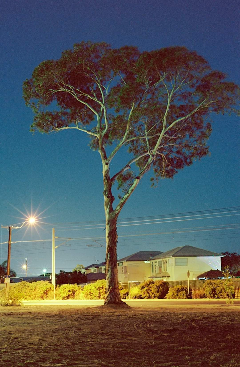 (CreativeWork) mercy for the last gum in the suburb Ed. 1 of 3 by Alex Frayne. Photograph. Shop online at Bluethumb.