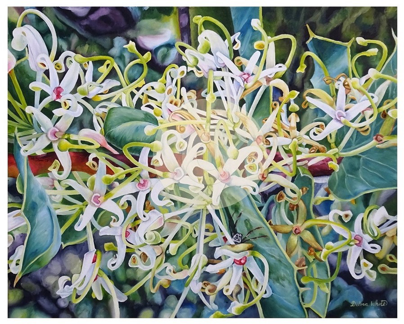 (CreativeWork) Harsh Hakea prostrata - Limited edition Print Ed. 1 of 50 by Delma White. Print. Shop online at Bluethumb.