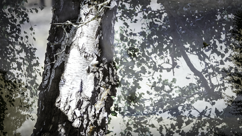 (CreativeWork) Silver Birch Tree Corinna Ed. 1 of 10 by Chris Morgan. Photograph. Shop online at Bluethumb.