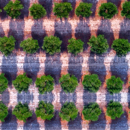 (CreativeWork) Olive Grove from above Ed. 1 of 10 by Craig Hammersley. Photograph. Shop online at Bluethumb.