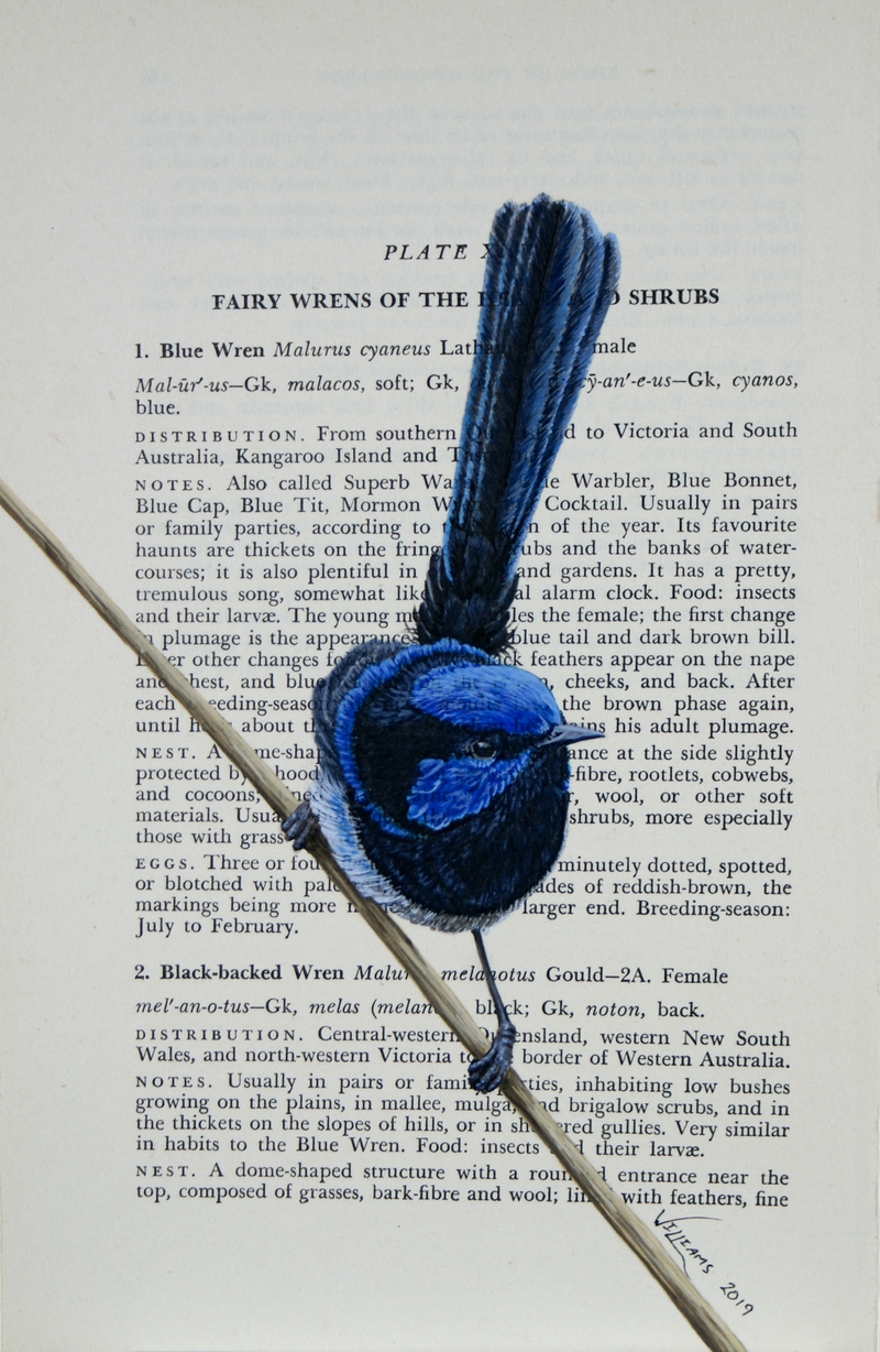 """(CreativeWork) Blue Wren on vintage (1951) page from """"What Bird is That?"""" by Neville W. Cayley by Craig Williams. Acrylic Paint. Shop online at Bluethumb."""