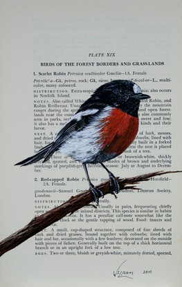 """(CreativeWork) Scarlet Robin on vintage (1951) book page from """"What Bird is That?"""" by Neville W. Cayley by Craig Williams. Acrylic Paint. Shop online at Bluethumb."""