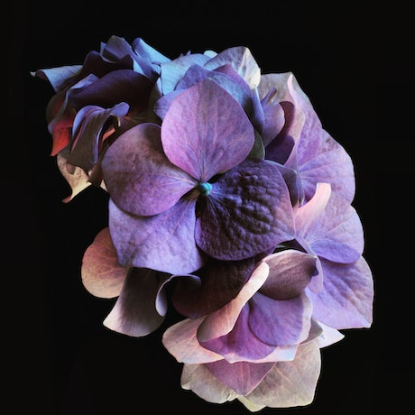 (CreativeWork) Purple Hydrangea Ed. 2 of 100 by Nadia Culph. Photograph. Shop online at Bluethumb.