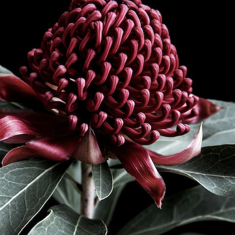 (CreativeWork) Waratah  Ed. 2 of 20 by Elizabeth Hosking. Photograph. Shop online at Bluethumb.
