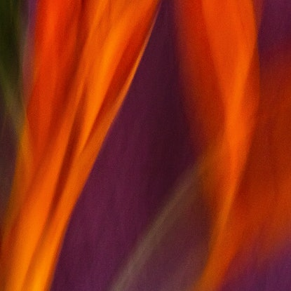 (CreativeWork) 'Heliconia' - square, red, purple, expressionist flower Ed. 1 of 15 by Bruce Peebles. Photograph. Shop online at Bluethumb.