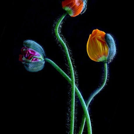 (CreativeWork) Colourful Poppy Buds Ed. 1 of 100 by Nadia Culph. Photograph. Shop online at Bluethumb.