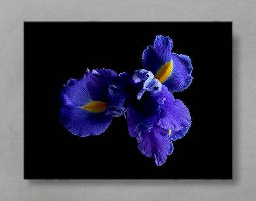 (CreativeWork) Blue Iris - Featured on House Rules High Stakes 2020 Ed. 1 of 100 by Nadia Culph. Photograph. Shop online at Bluethumb.