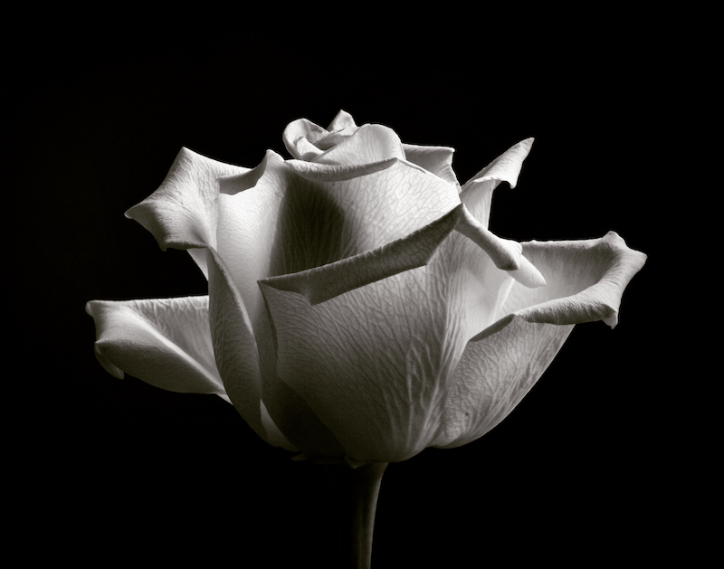 (CreativeWork) Black & White Rose Ed. 1 of 100 by Nadia Culph. Photograph. Shop online at Bluethumb.