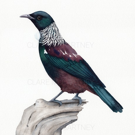 (CreativeWork) Tui – Watercolour A3  by Clare McCartney. Watercolour Paint. Shop online at Bluethumb.