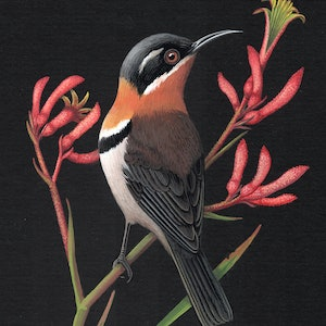 (CreativeWork) Western Spinebill by Lyn Cooke. #<Filter:0x00007f5a09538bc0>. Shop online at Bluethumb.