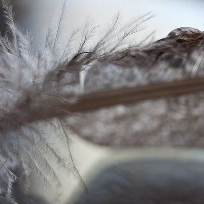 (CreativeWork) Turkey Feather 7777 Ed. 1 of 250 by Alison Shirley. #<Filter:0x000055a24be3c810>. Shop online at Bluethumb.