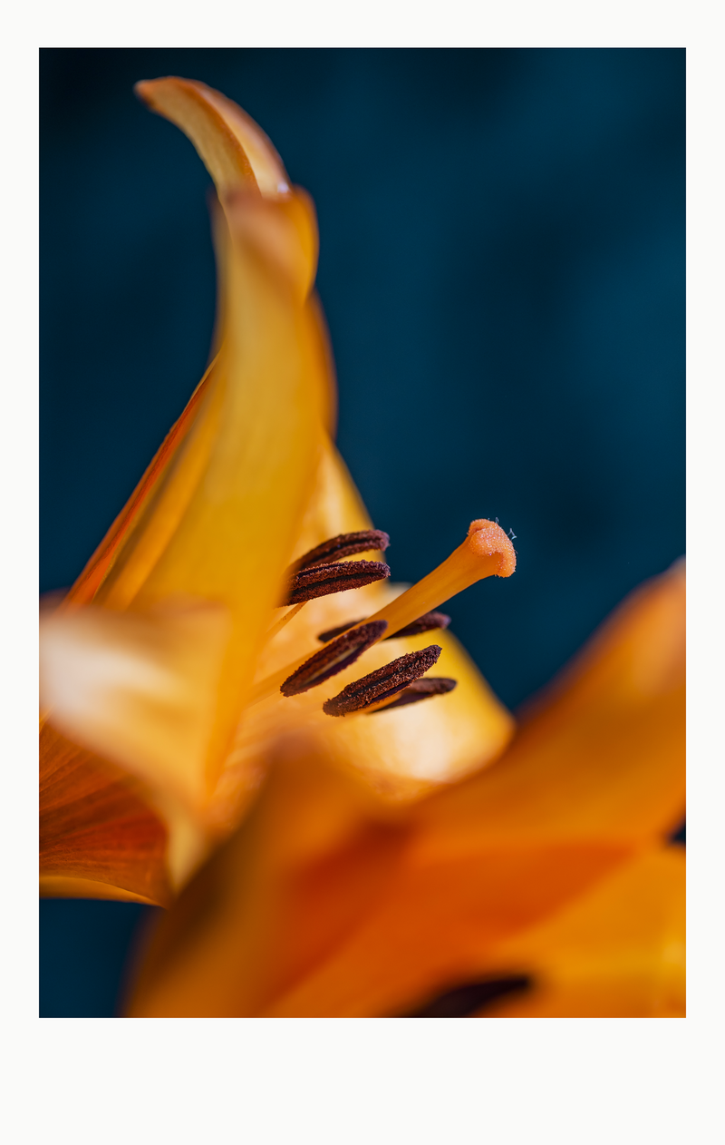(CreativeWork) Flower Series 3 Ed. 2 of 20 by Adam Tucker. Photograph. Shop online at Bluethumb.