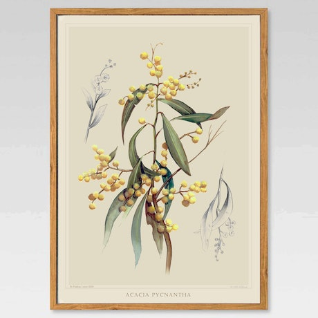 (CreativeWork) Australian Native Golden Wattle  - Framed Limited edition print Ed. 1 of 100 by Darlene Lavett. Print. Shop online at Bluethumb.