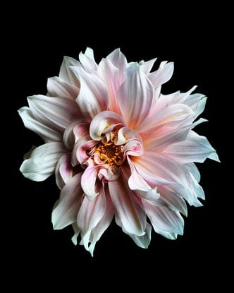 (CreativeWork) Pink Dahlia Ed. 1 of 100 by Nadia Culph. Photograph. Shop online at Bluethumb.